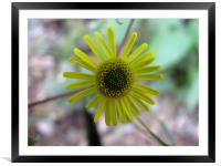 yellow flower, Framed Mounted Print