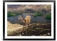 Red Deer Glen Etive, Framed Mounted Print