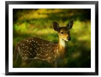 Indian Spotted Deer, Framed Mounted Print