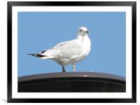 gull, Framed Mounted Print