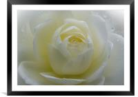White Rose, Framed Mounted Print