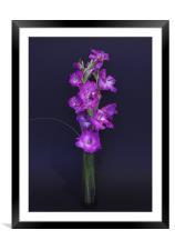 Gladiolus, Framed Mounted Print