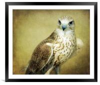 The Saker Falcon Stare, Framed Mounted Print