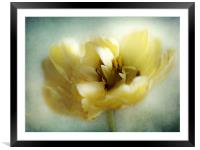 Yellow Tulip, Framed Mounted Print