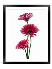 Simply Pink, Framed Mounted Print