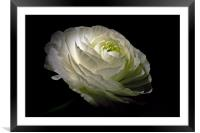 White Ranunculus, Framed Mounted Print