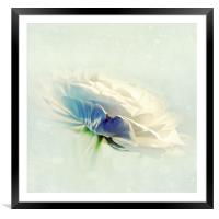 White Ranunculus, Framed Mounted Print
