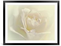 Soft White Rose, Framed Mounted Print