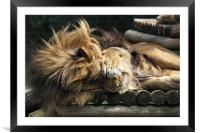 Sleeping Lion on wooden bed, Framed Mounted Print