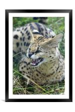 Wild Cat, Framed Mounted Print