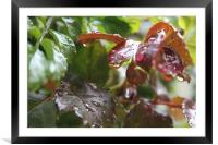 Drops of rain, Framed Mounted Print