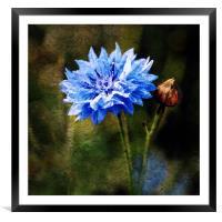 Cornflower Blues, Framed Mounted Print