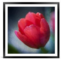 Red Tulip, Framed Mounted Print