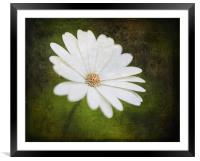 Cape Daisy, Framed Mounted Print