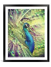 Proud Peacock, Framed Mounted Print