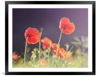 Sunlit Poppies, Framed Mounted Print