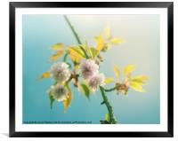Cherry Blossom in the Sunshine, Framed Mounted Print