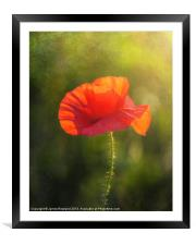 Poppy in the field, Framed Mounted Print