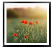 Poppy Evening, Framed Mounted Print