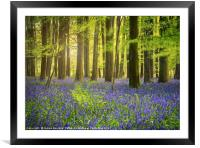 The Bluebell Woods , Framed Mounted Print