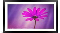 Purple Osteospermum, Framed Mounted Print