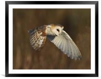 barn owl, Framed Mounted Print