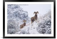 Pair of Winter Rams, Framed Mounted Print