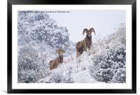 Pair of Winter Rams, Framed Mounted Print