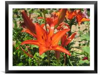 Cretian Lilly, Framed Mounted Print