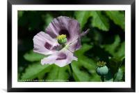a Purple Poppy, Framed Mounted Print