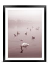 Swan & Ducks, Framed Mounted Print