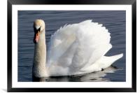 Swan displaying at Wellington Country Park, Framed Mounted Print