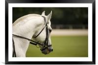Lipizanner horse, Framed Mounted Print