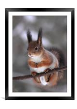 Red squirrel on a tree branch, Framed Mounted Print