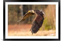 Bald Eagle in Flight, Framed Mounted Print