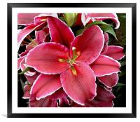 Oriental Lily, Framed Mounted Print
