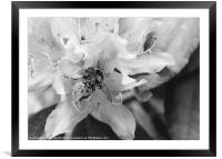 Bumble bee collecting pollen from a Rhododendron f, Framed Mounted Print