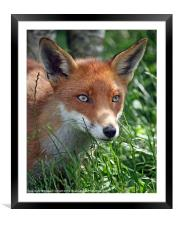 Red fox stare, Framed Mounted Print
