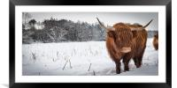 Highland cow in snow, Framed Mounted Print
