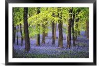 Bluebells at Ashridge, Framed Mounted Print
