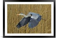 The Grey Heron, Framed Mounted Print