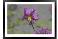 Potato flower, Framed Mounted Print