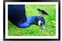 Peacock, Framed Mounted Print