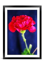 Red Carnation, Framed Mounted Print