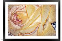 Yellow Rose, Framed Mounted Print