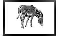 Zebra, Framed Mounted Print