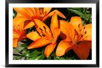 Orange Lilies, Framed Mounted Print