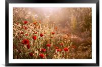 Morning light on Poppies, Framed Mounted Print