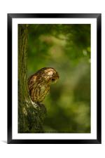 Tawny owl in the woods, Framed Mounted Print