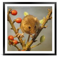 Harvest mouse (Micromys minutus), Framed Mounted Print